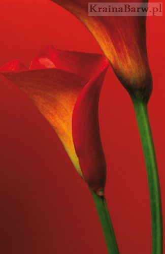 Fototapeta 406 Red Calla Lillies