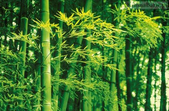 Plakat 00670 Bamboo in Spring